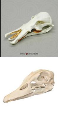 skullcomparison